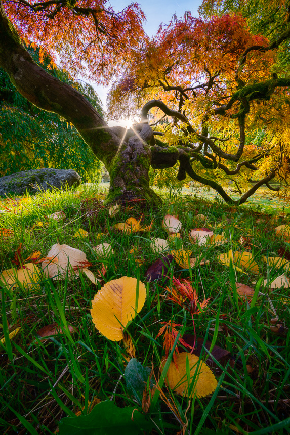 Photo of a japanese red maple tree with sunstar during autumn