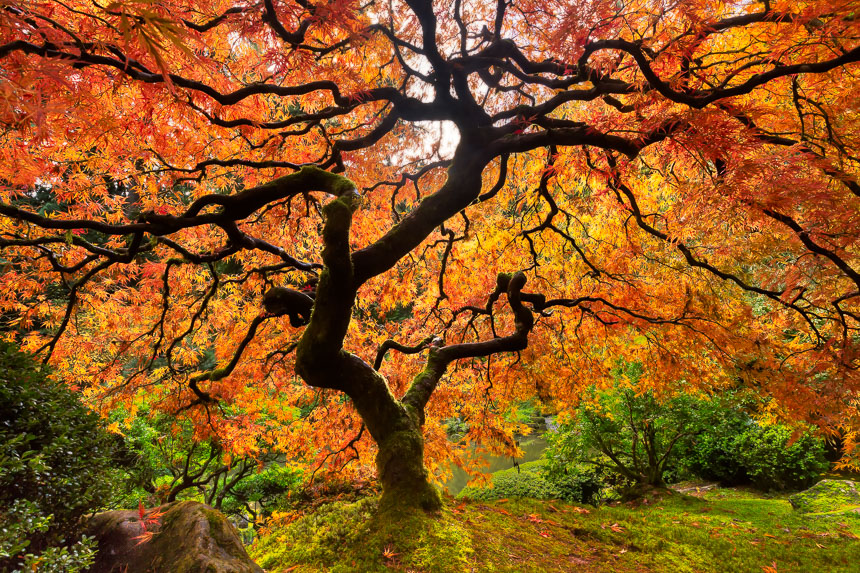 a photograph of a japanese red maple showing red fall colors
