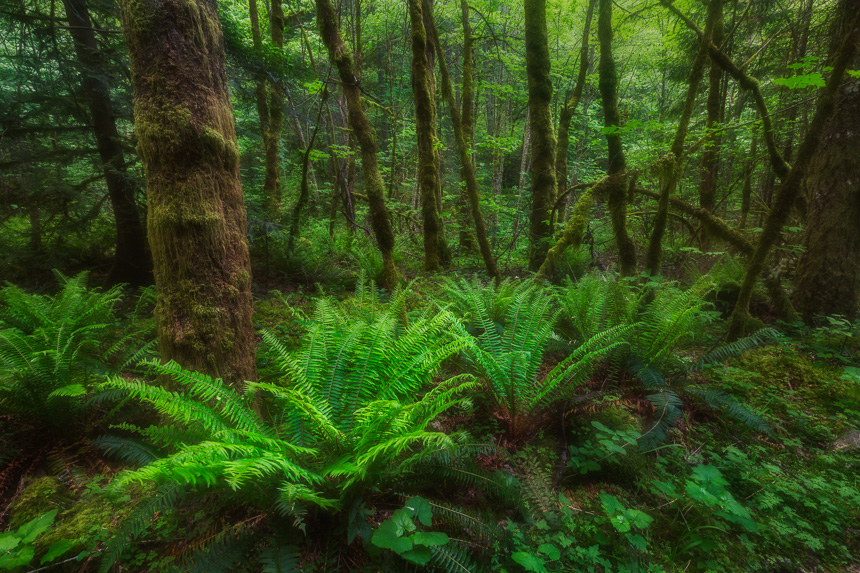 a row of three ferns in the columbia river gorge, oregon