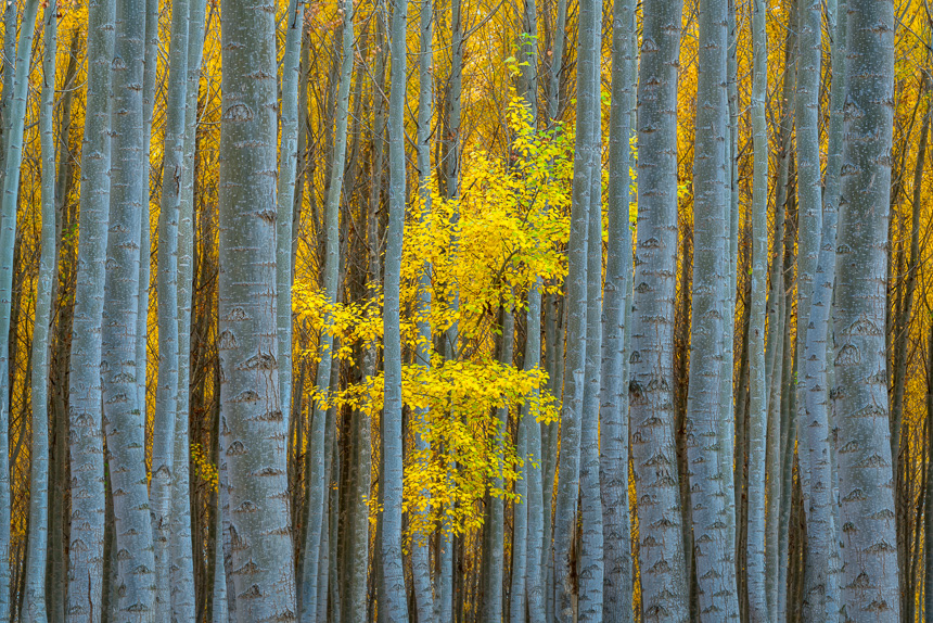 A photograph of a yellow leafed tree among a series of other tree trunks